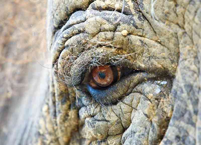 Captive Elephant Blindness
