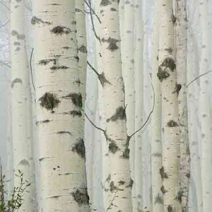 Wild Sweet Birch Essential Oil