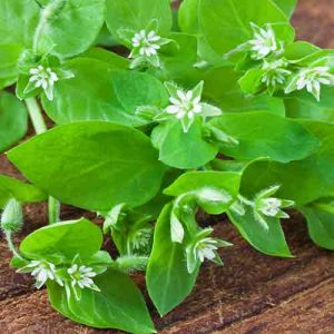 Chickweed In Almond Oil