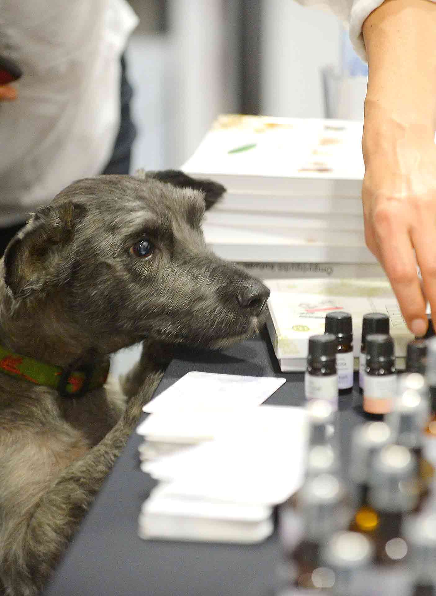 Dog Choosing Essential Oils At Ingraham Biotics In Tetbury