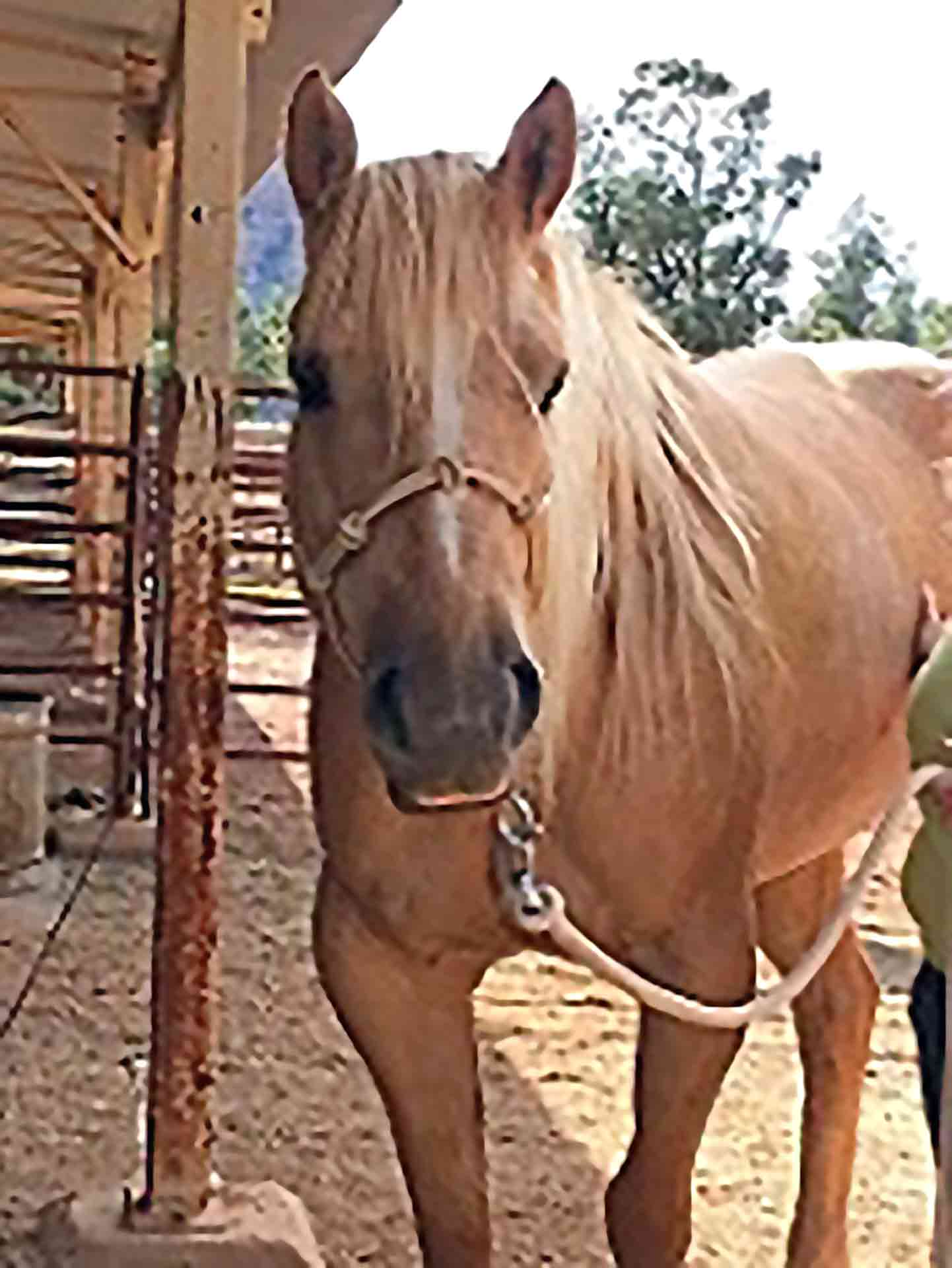 Khaleesi The Horse With Polysaccharide Storage Myopathy (PSSM)