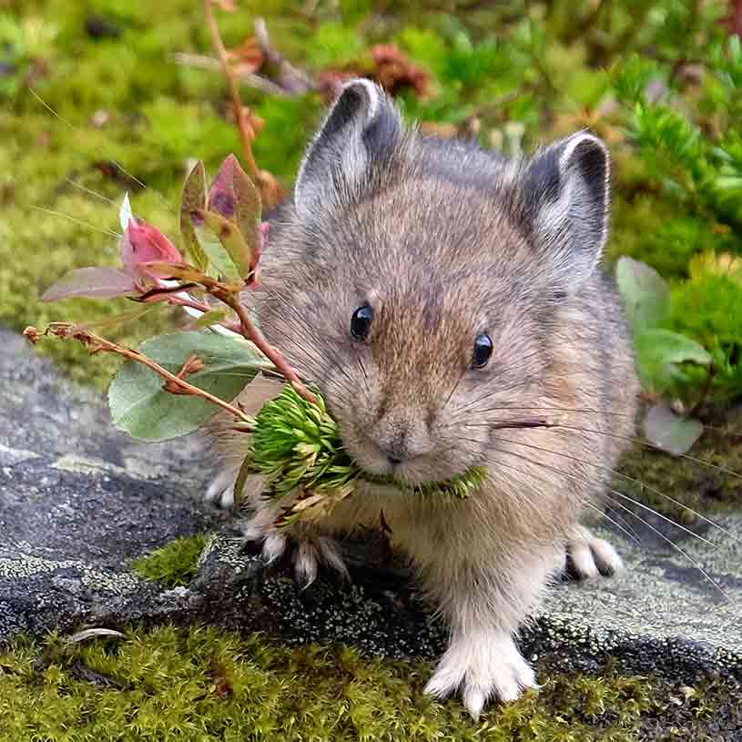 A Pika Rodent Eating Herbs