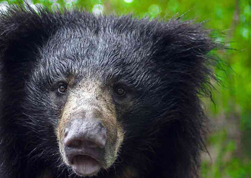 Indian Sloth Bear