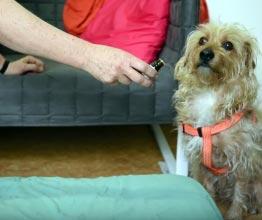 Veterinary Clinic - Dog Seeking Topical Application To Femoral Artery