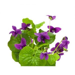 Violet Leaf Essential Oil